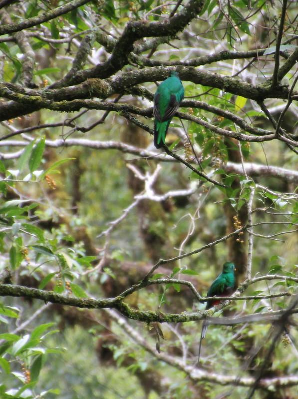 Pair of Quetzals