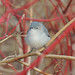 Blue-gray Gnatcatcher!
