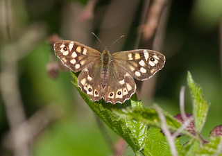 Speckled Wood 'Pararge aegeria' 13.04.2014