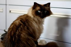 domestic long-haired cat, animal, small to medium-sized cats, pet, ragdoll, cat, carnivoran, whiskers, norwegian forest cat, birman,