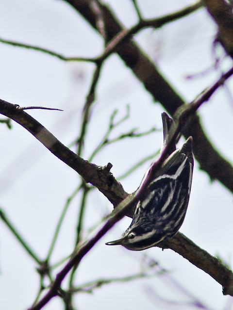 Black-and-White Warbler 3-20140506