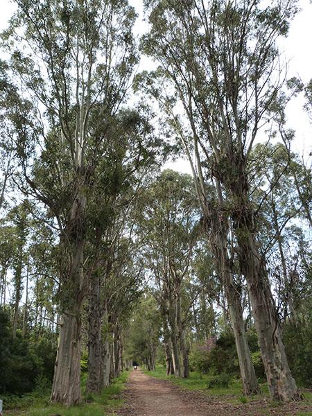 sous les eucalyptus 2