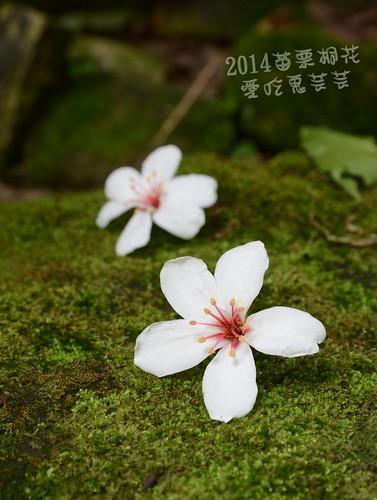 2014油桐花_020.jpg