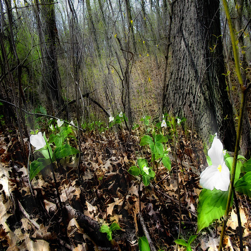 flowers trees light white ontario colour green texture digital forest photoshop spring branches trilliums awardtree