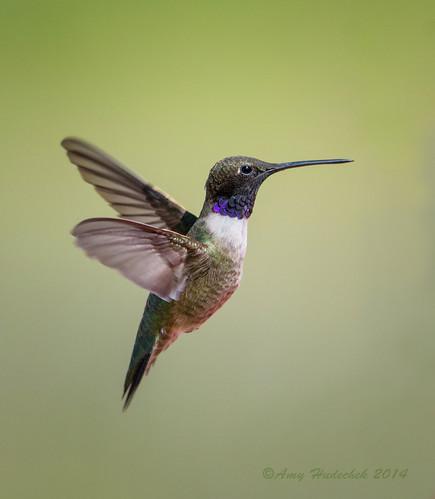 colorado hummingbird blackchinnedhummingbird vegalake