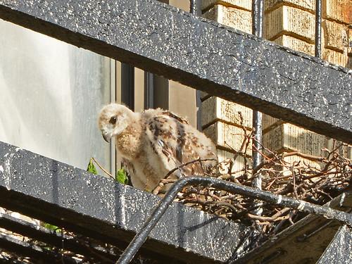 JHW Hawk Nestling (9834)