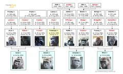 Gorilla Family - Chicago - Lincoln Park Zoo (Bachelor Group)
