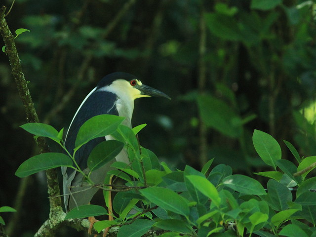Black-crowned Night-Heron 20140421