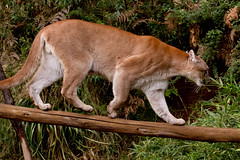 cougar, animal, small to medium-sized cats, mammal, fauna, puma, wildlife,