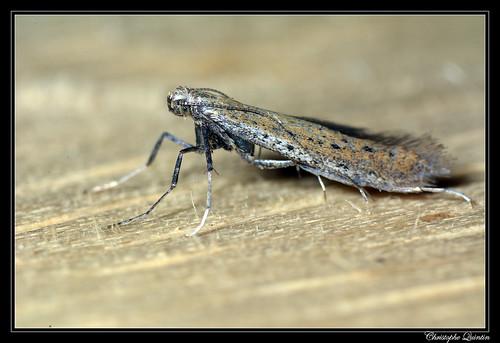Aspilapteryx tringipinnella