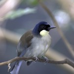 Blue-Crowned Laughingthrush