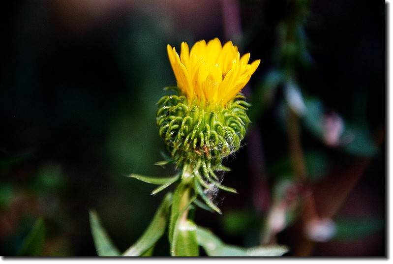 Mountain Gumweed 1