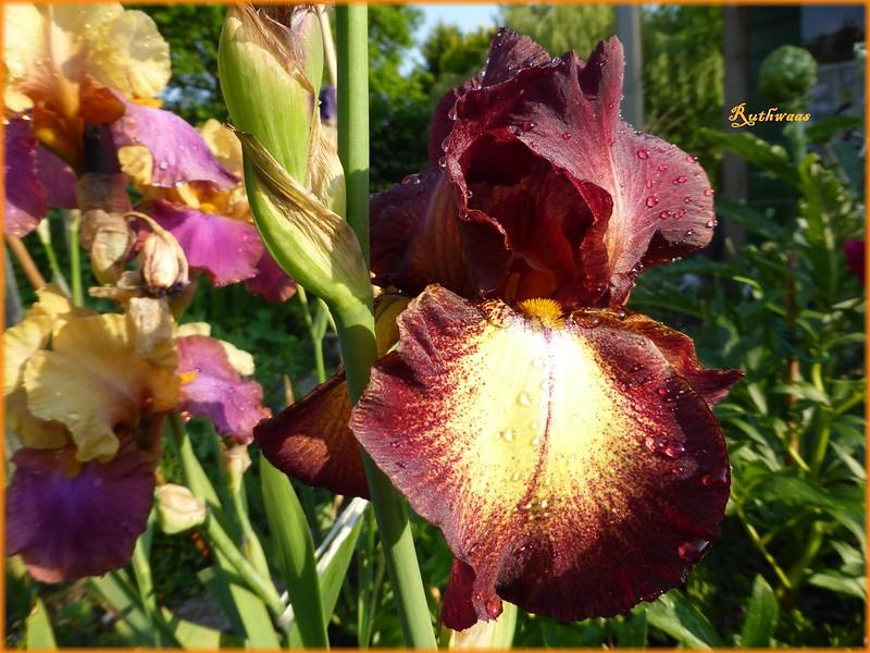 P1010264-2 Iris