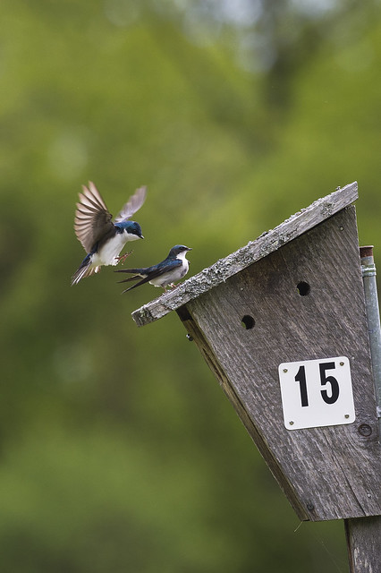 tree swallow mating 1
