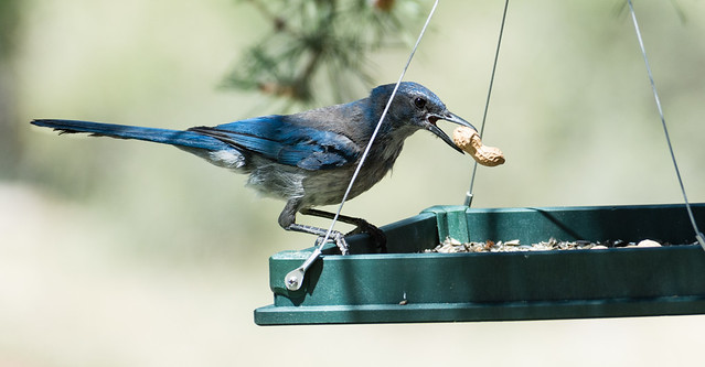 Scrub Jay with Peanut 2