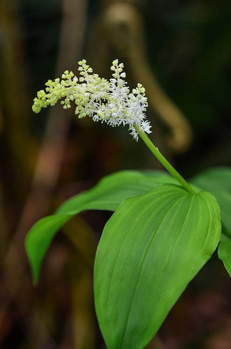 <p><i>Smilacina racemosa</i>, Asparagaceae<br /> Burnaby Mountain Conservation Area, Burnaby, British Columbia, Canada<br /> Nikon D5100, 105 mm f/2.8<br /> May 11, 2014</p>