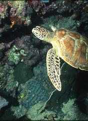 綠蠵龜。(攝影:鄭明修;林務局提供)