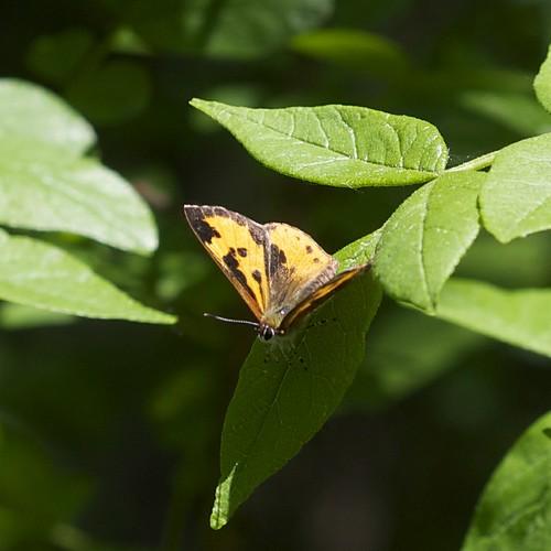 Feniseca tarquinius