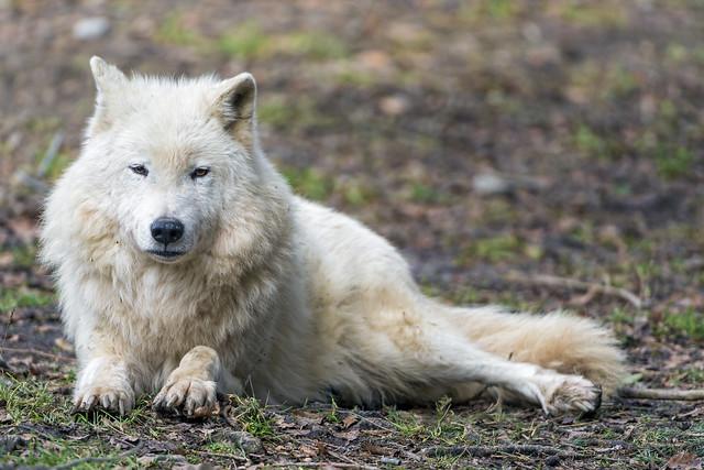 Lying polar wolf