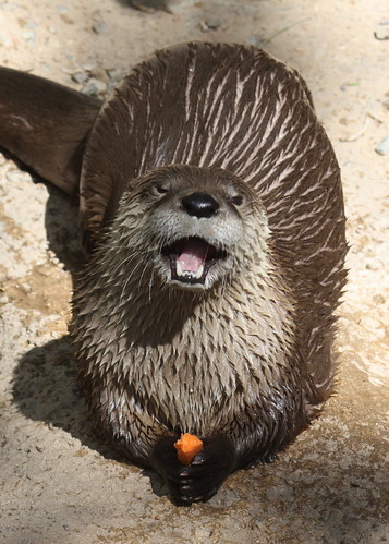 a river otter looks at the camera with a huge open-mouth grin. It is holding a half-eaten carrot.