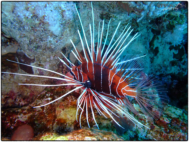 Clear Lionfish (Pterois Radiata)