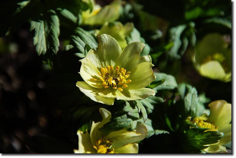 Globeflower 2