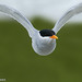 Black-fronted Tern by NZ Nature by Glenda Rees