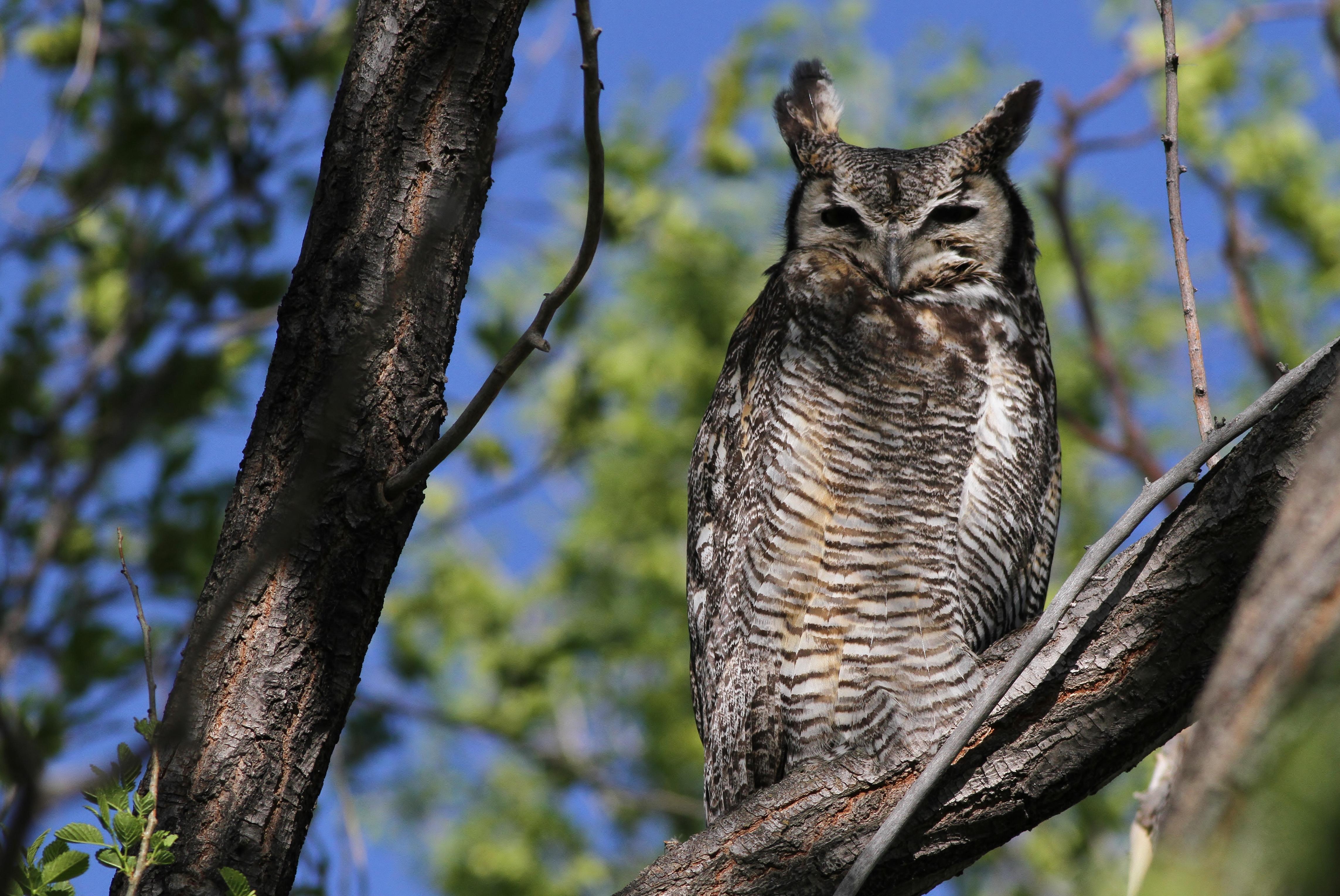Great Horned Owl--Idaho