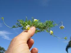 Cotula turbinata plant NC3