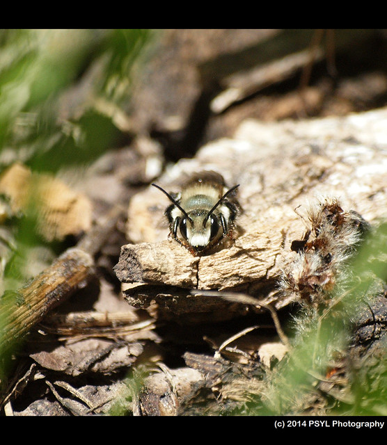 Unidentified male Osmia sp.