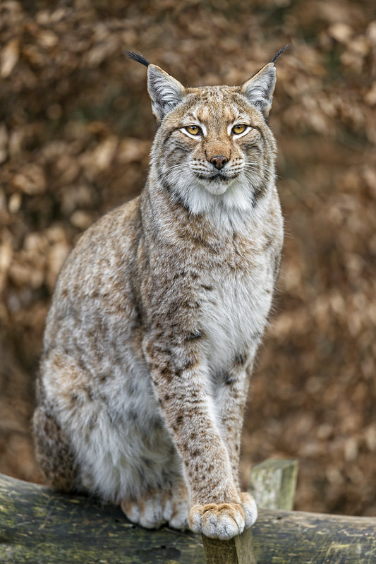 Lynx sitting on the branch II