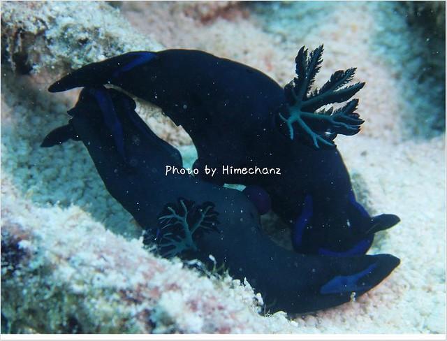 サンゴの下ではウミウシが交接しそうでした