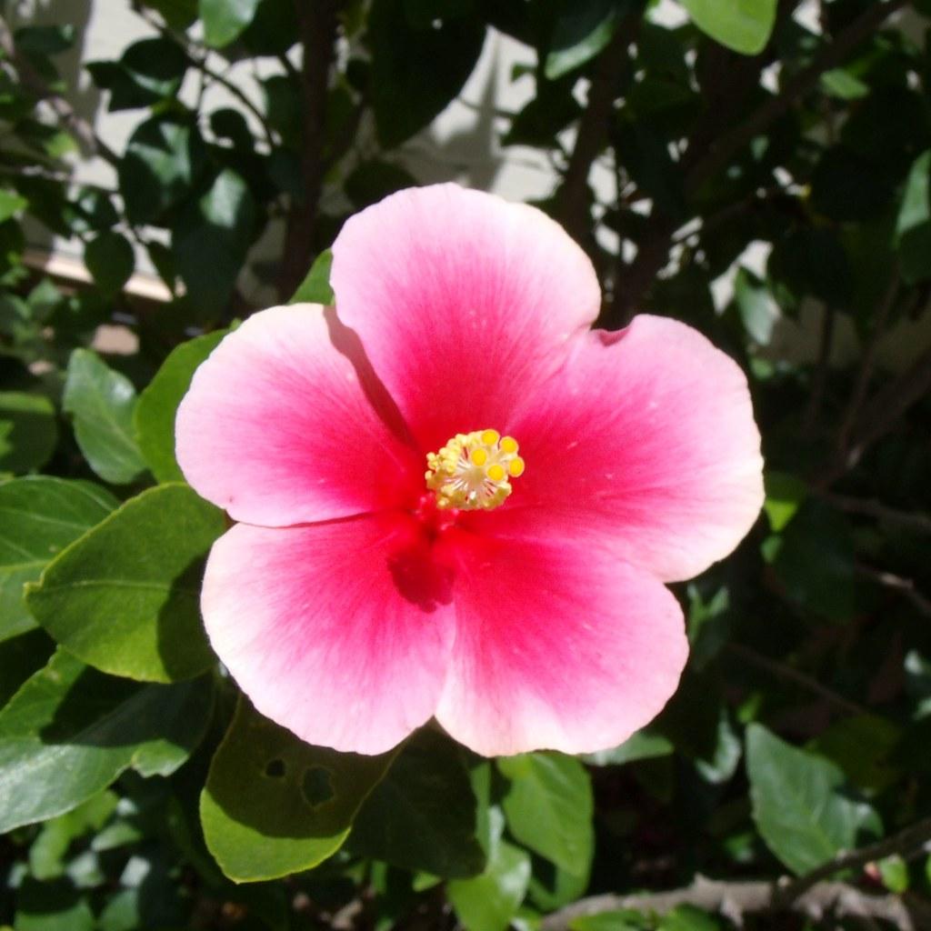Single Pink White Hibiscus Flower Gedsc Digital Camera Steven