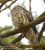 Barred Owl with hatchling