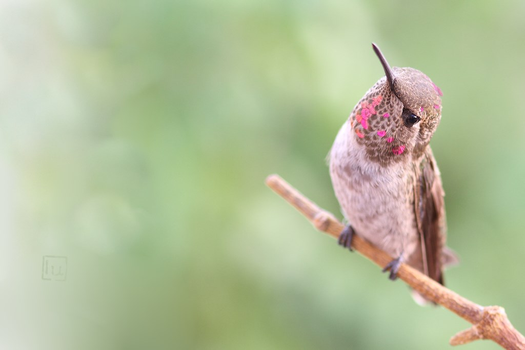 immature male Anna's Hummingbird 290614