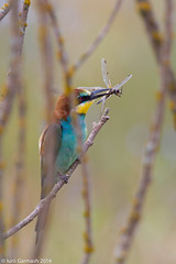 Bee eater with its pray