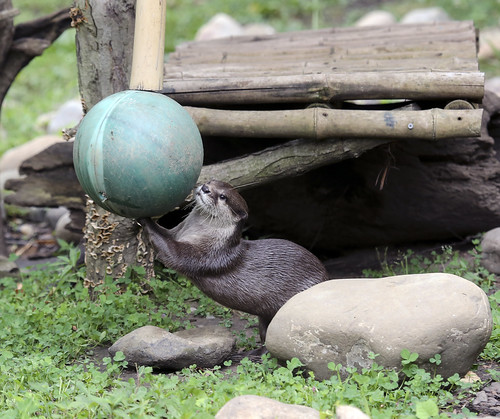river otter amongst rocks and green groundcover. It is holding a big blue beachball.