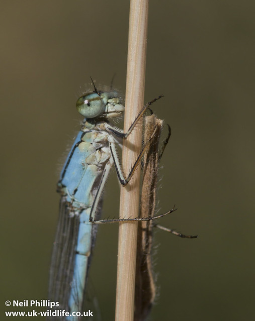 common blue damselfly-4