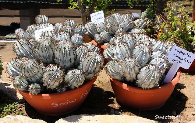Euphorbia snowflake