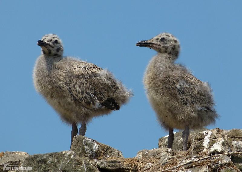 P1070905 - Juvenile Herring Gulls, Conwy