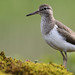 Common Sandpiper set of 5 images