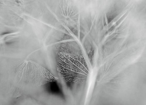 Hydrangea very old lacework bw
