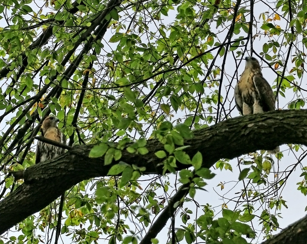 Red tail siblings in Tompkins Square