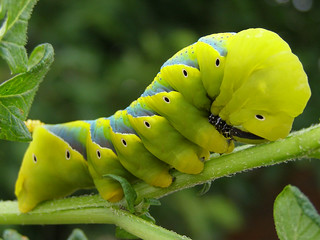 Large Caterpillar