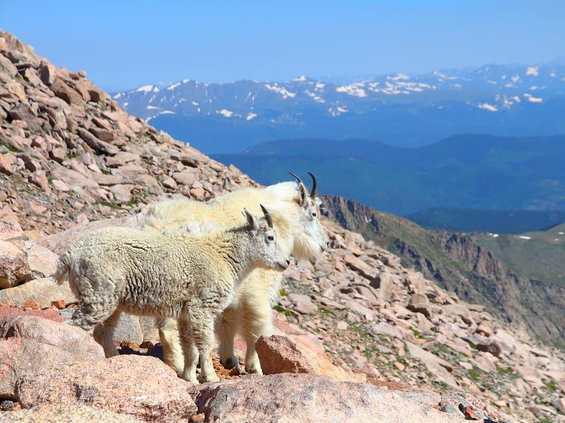 IMG_4708 Mountain Goat on Mount Evans