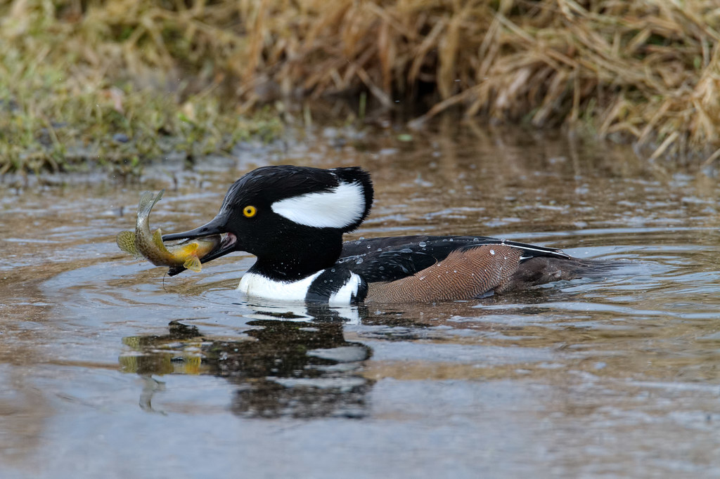 A male hooded merganser with a fish in his mouth