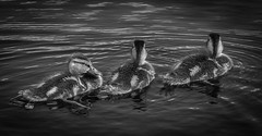 Ducklings_3204