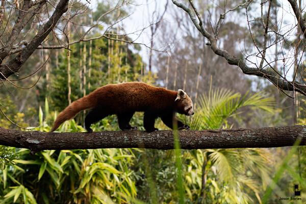 Panda rosso fotografato da Jason Barles al Symbio Wildlife Park di Helensburgh Nuovo Galles del Sud (Australia)