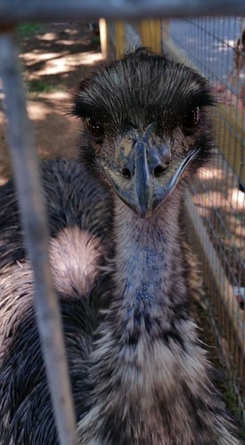 Olive, the emu