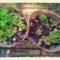 Time to repot these baby Coleus.